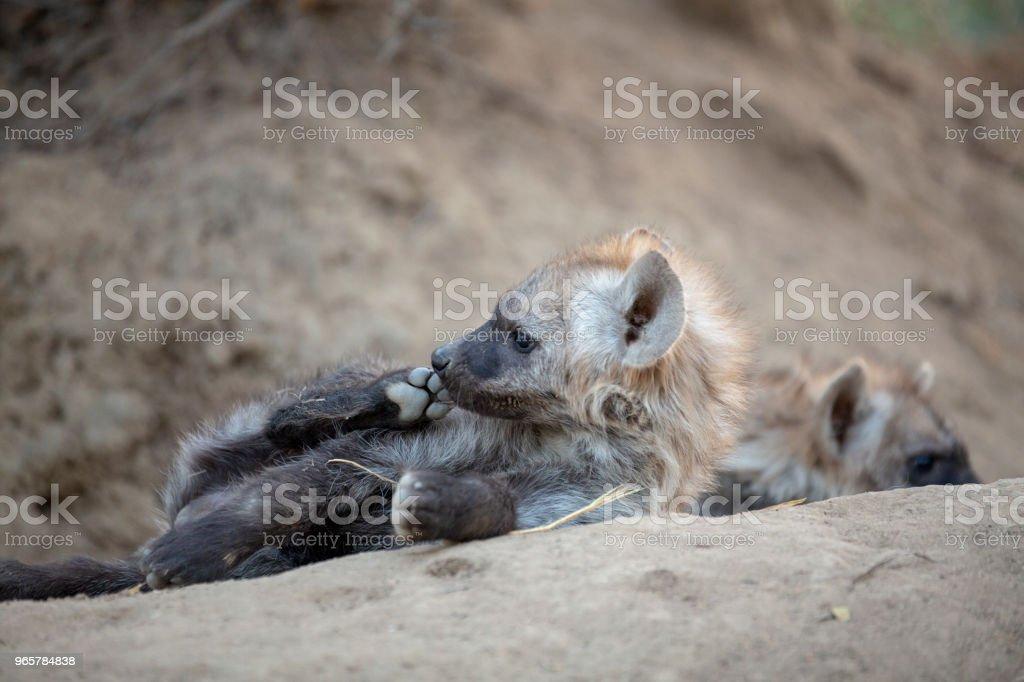 Hyaena cubs - Royalty-free Animal Stock Photo