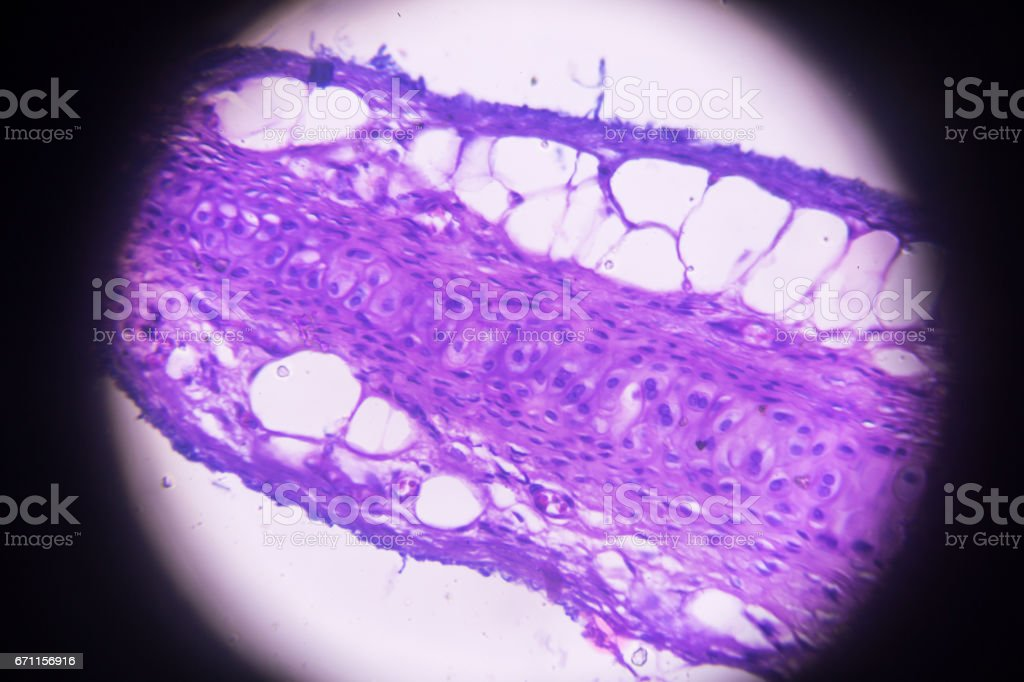 hyalinem Knorpel Querschnitt in der Mikroskopie – Foto