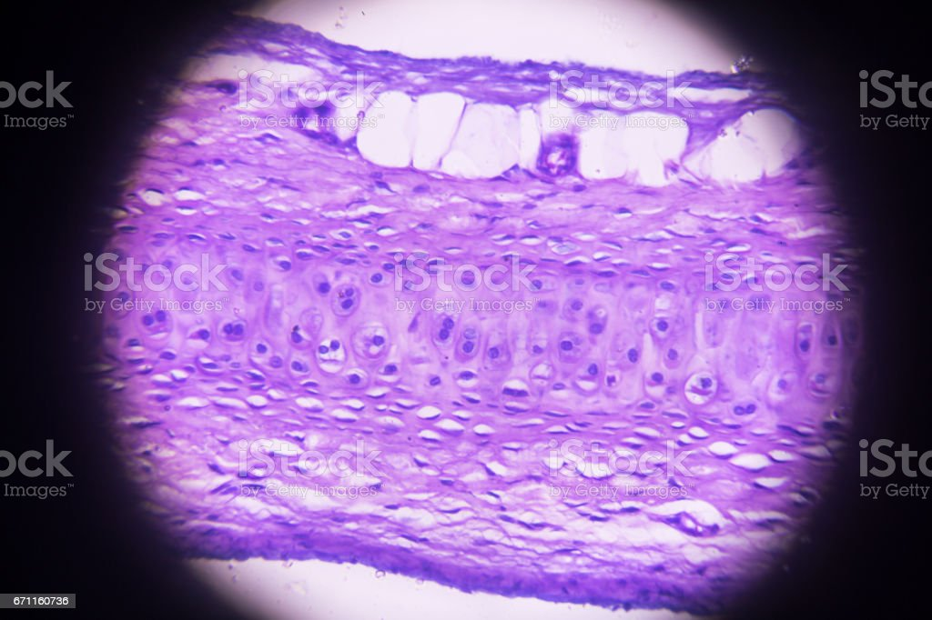 hyaline cartilage cross section in microscopy stock photo