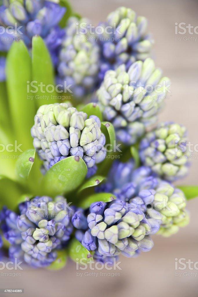 Hyazinthen stock photo