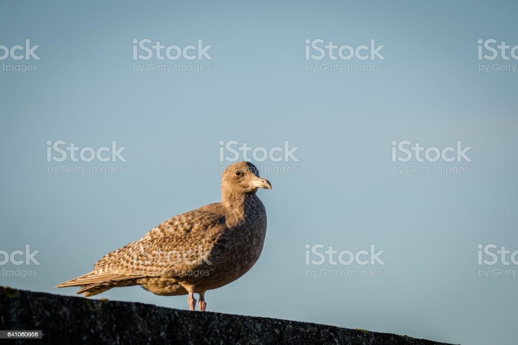 Hybrid bird, a mix of European Herring Gull Larus argentatus and Glaucous gull Larus hyperboreus standing on a wall stock photo