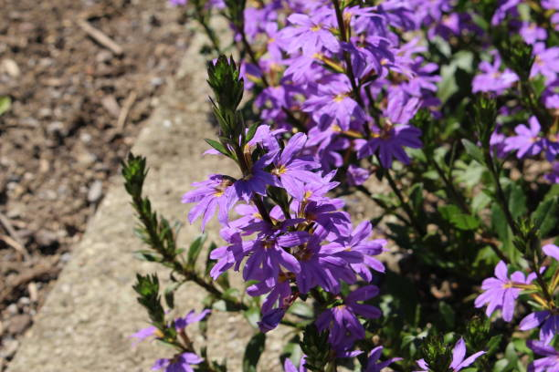 Hybrid blue Fairy Fan flowers - Scaevola Aemula Blue Wonder stock photo