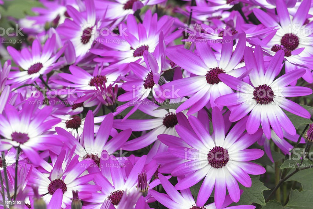 Hybrid Cineraria stock photo
