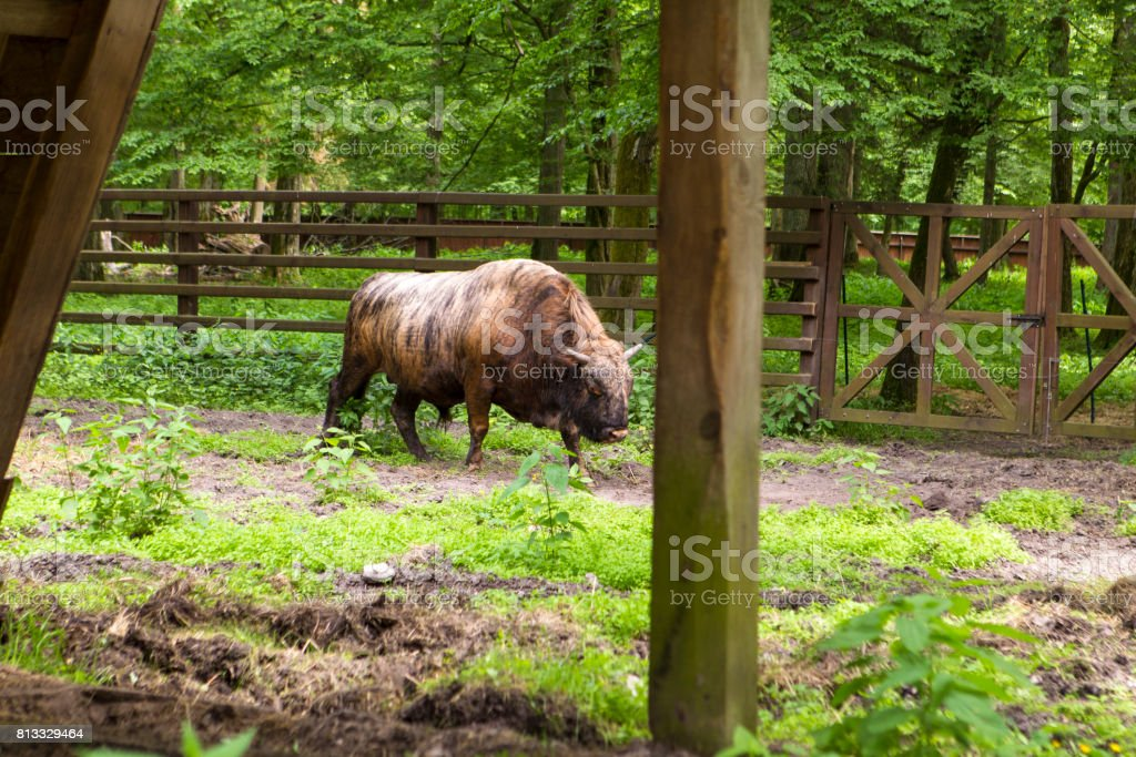 Hybrid Cow and bison stock photo