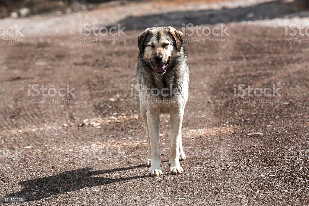 Hybrid Kangal Dog Waiting royalty-free stock photo