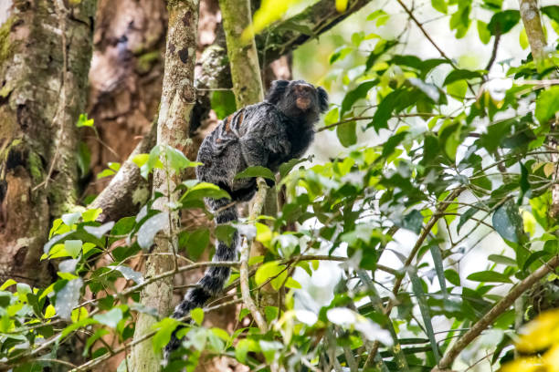 Hybrid marmoset photographed in Santa Teresa, in Espirito Santo. Southeast of Brazil. Hybrid marmoset photographed in Santa Teresa, in Espirito Santo. Southeast of Brazil. Atlantic Forest Biome. Picture made in 2018. marmoset stock pictures, royalty-free photos & images