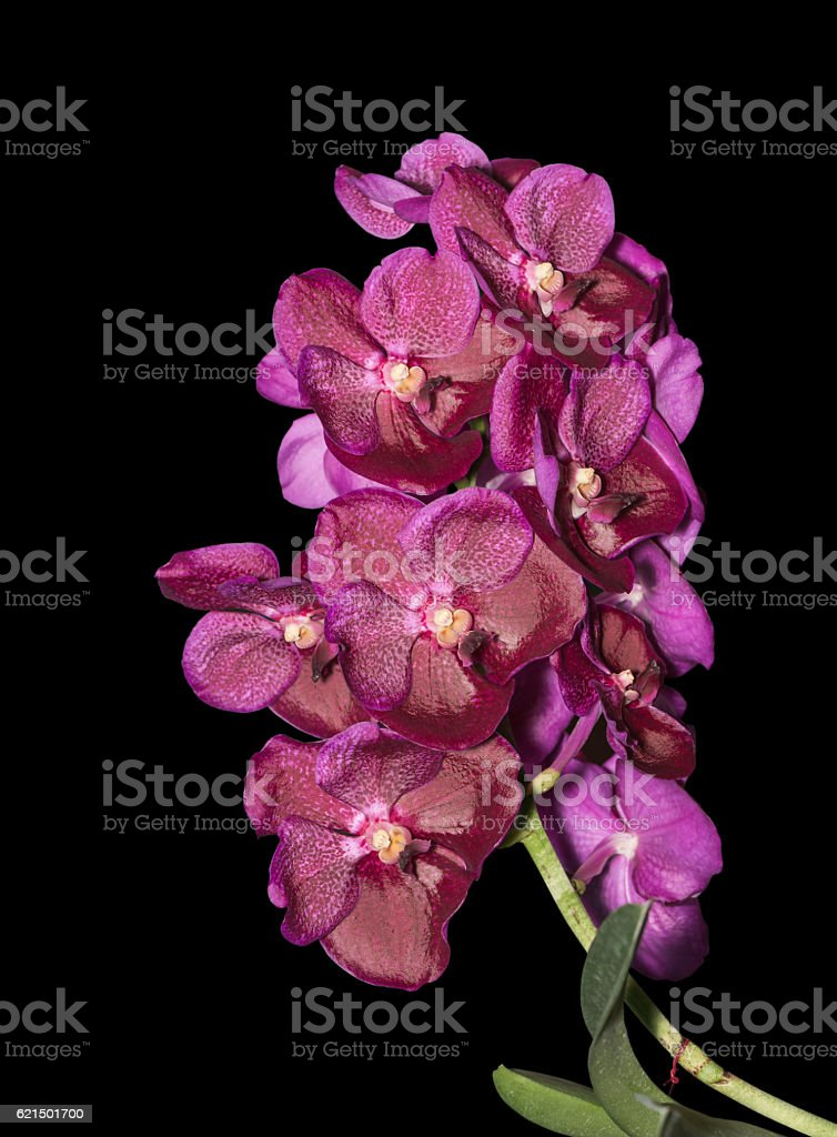 Hybrid pink vanda orchid flower isolated foto stock royalty-free