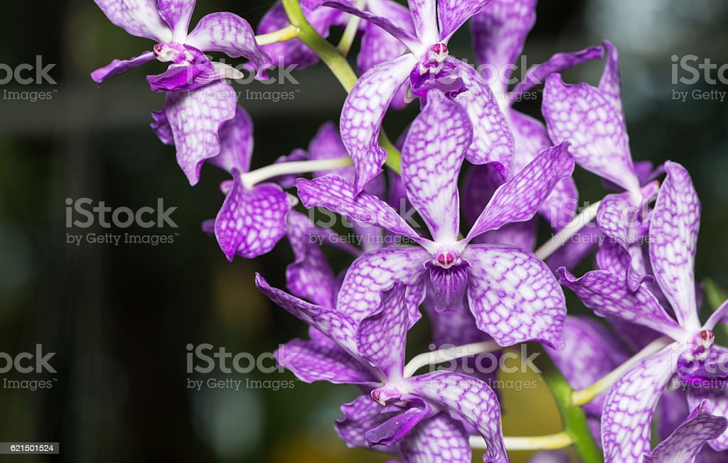 Hybrid purple  dendrobium orchid photo libre de droits