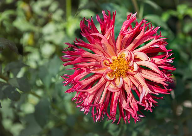 hybrid red dahlia flower - seltene pflanzen stock-fotos und bilder