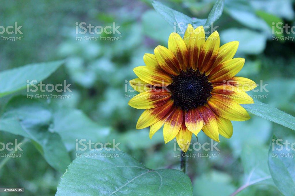 Hybrid Sunflower Shines in the Garden stock photo
