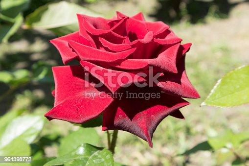 Hybrid Tea dark red rose 'Norita' flower on a sunny day.