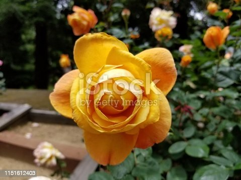 Close-up of beautiful hybrid tea rose in orange color growing in an outdoor setting, May 20, 2019