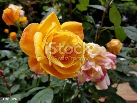 Close-up of hybrid tea rose in orange color with pink rose in background, May 20, 2019