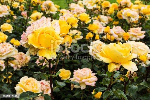 Hybrid Tea Rose, beautiful yellow flower head in flower bed