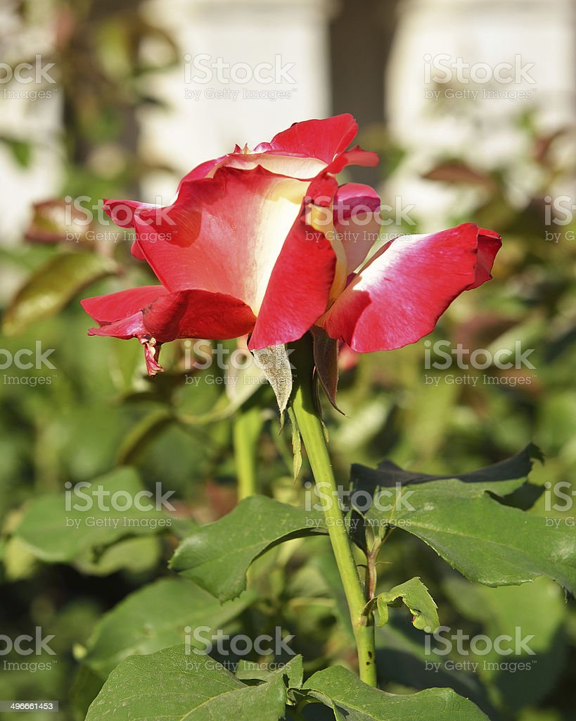 Hybrid Tea Rose royalty-free stock photo