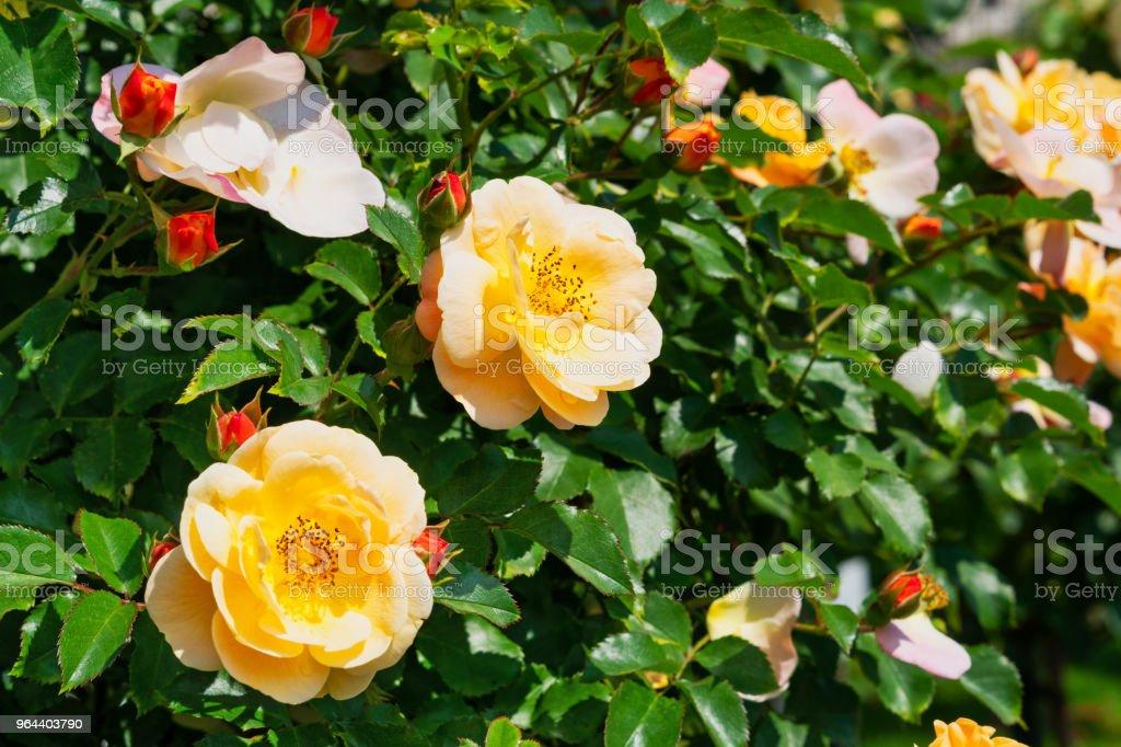 Rosa chá híbrida - Foto de stock de Arbusto royalty-free