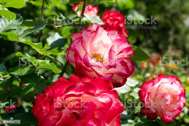 Foto de Rosa Chá Híbrida e mais fotos de stock de Arbusto