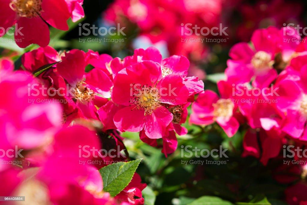 Hybrid Tea Rose - Royalty-free Austria Stock Photo