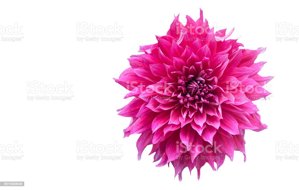 hybrid Vivid Pink Dahlia flower in autumn isolated foto stock royalty-free