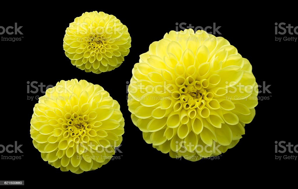 hybrid yellow Dahlia flower isolated on black, selective focus foto stock royalty-free