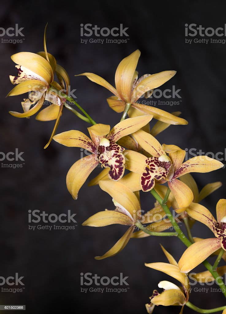Hybrid Yellow Dendrobium orchid flower foto stock royalty-free