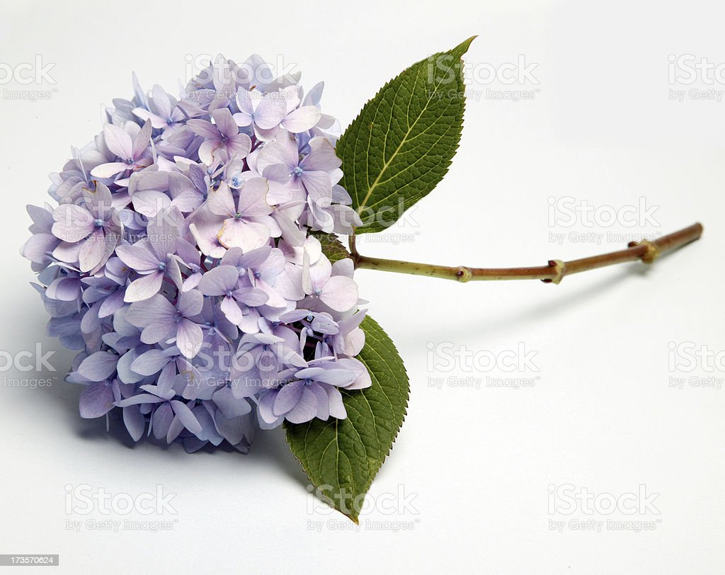 Hydrangea 0001 royalty-free stock photo