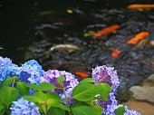 hydrangea and carps japanese garden view