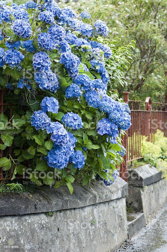 Hydrangea and fence royalty-free stock photo