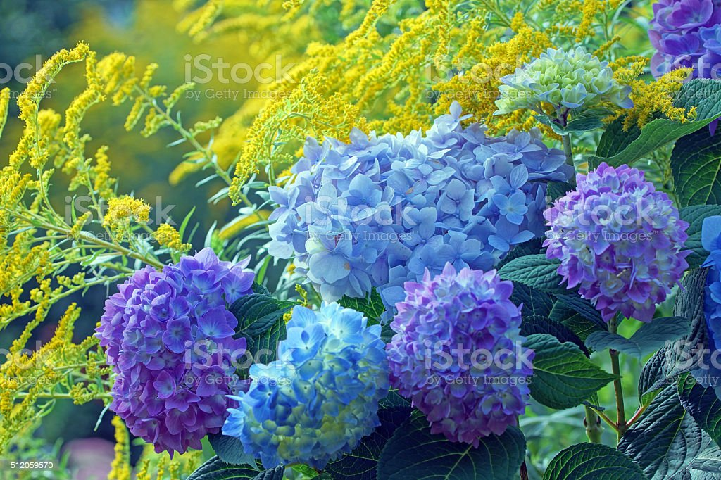 Hydrangea and golden rod stock photo