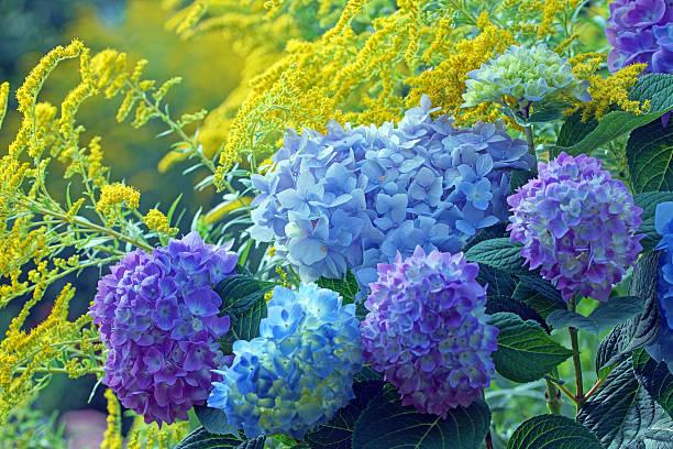hydrangea and golden rod - hortensia stockfoto's en -beelden