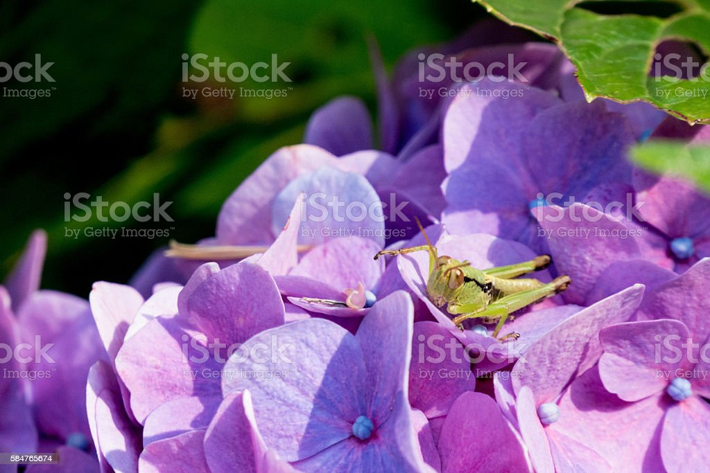 Hydrangea and grasshoppers stock photo