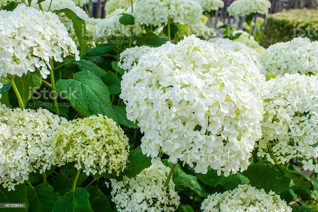 Hydrangea arborescens Annabelle  white balls summer flowers stock photo