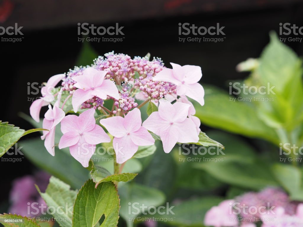 Hydrangea blooming in full bloom - Royalty-free Advertisement Stock Photo