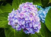 The delicate colors of an emerging hydrangea blossom in a Cape Cod garden.