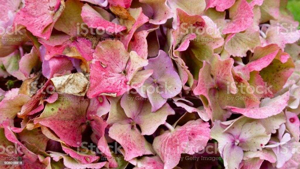 Hydrangea blossom stock photo