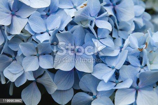 Hydrangea macrophylia seasonal flowers blossom