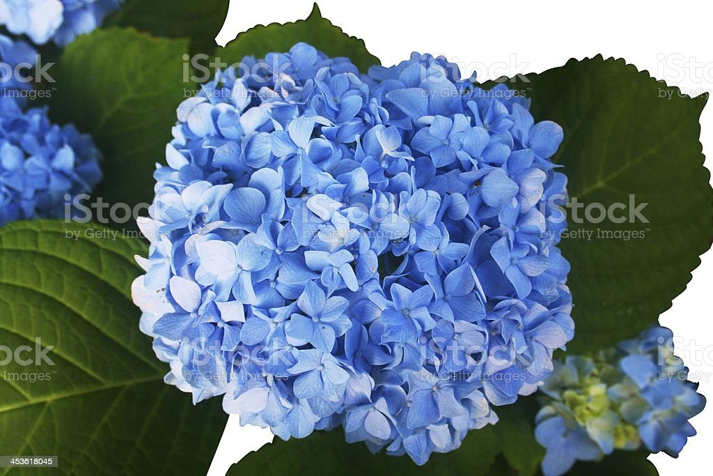 Hydrangea Blue Flowers Isolated on White stock photo