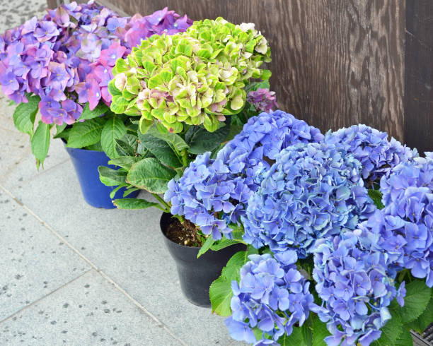 Hydrangea Blue, Green and Pink stock photo