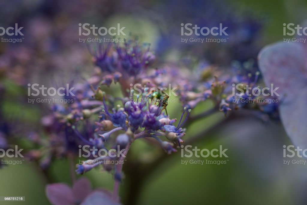 Hydrangea bud pollinator stock photo