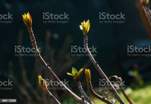 Hortensia Knoppar-foton och fler bilder på Blomkorg - Blomdel