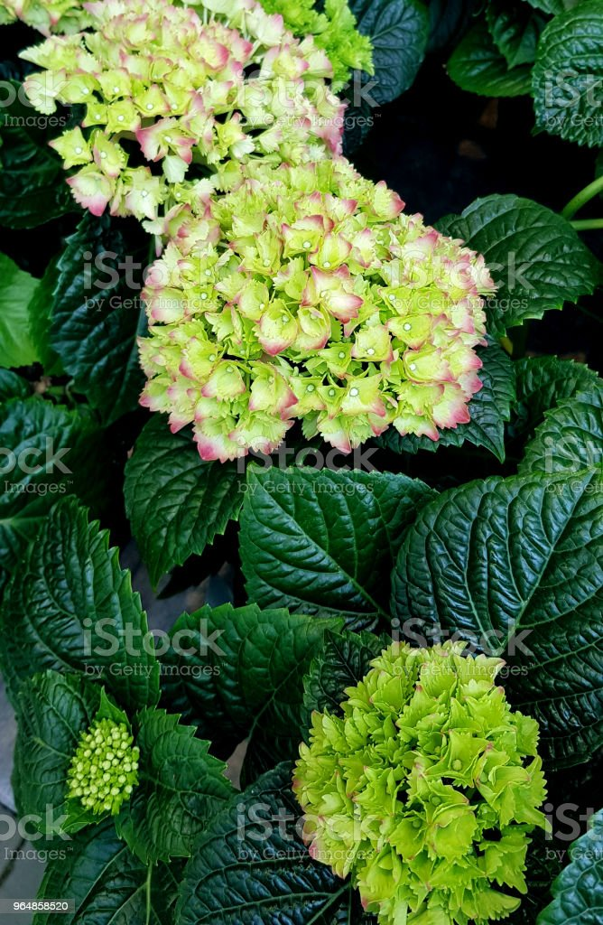 Hydrangea bush. Lush green flowers blooming in the summer in the garden. royalty-free stock photo