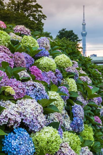 Hydrangea bush with Tokuo Skytree stock photo