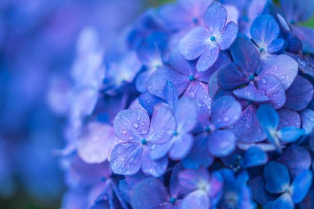 close-up van de hortensia - hortensia stockfoto's en -beelden