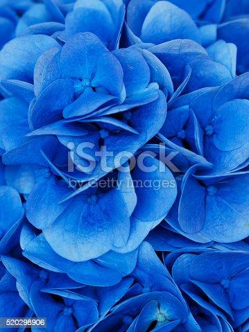 istock Hydrangea. COLOR IMAGE 520298906