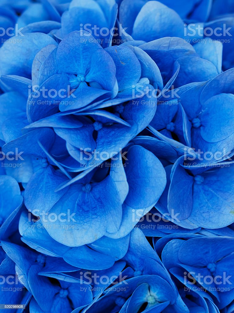 Hydrangea. COLOR IMAGE stock photo