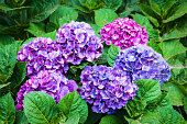 Various shades of hydrangea flowers from purple and blue to pink and magenta.