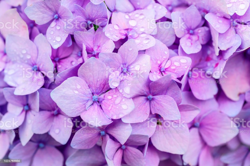 Hydrangea Detail stock photo