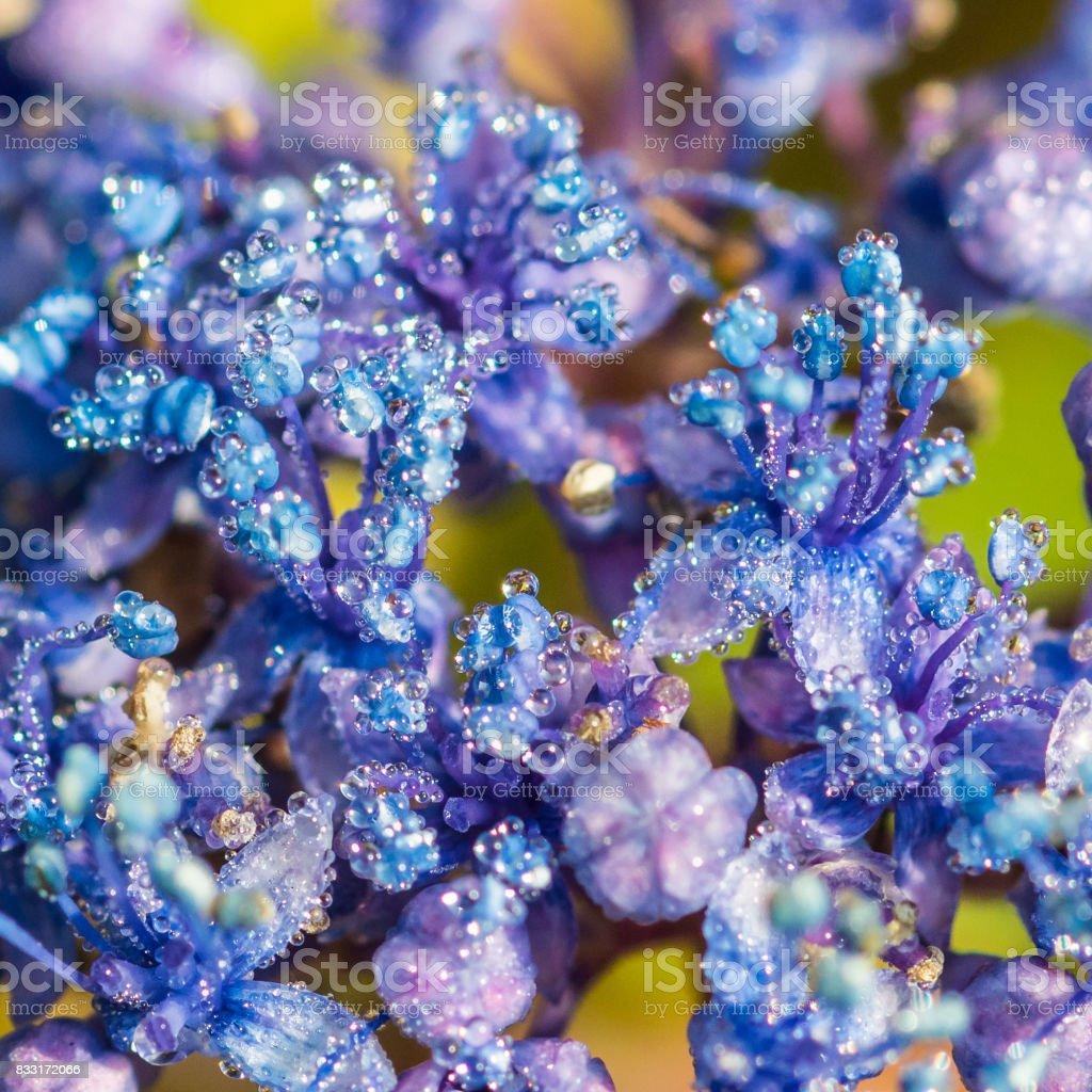 Hydrangea Droplets stock photo