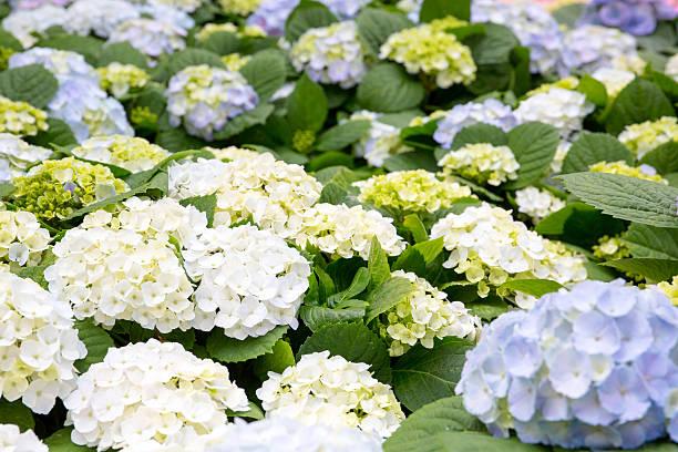 Hydrangea flower in a garden stock photo