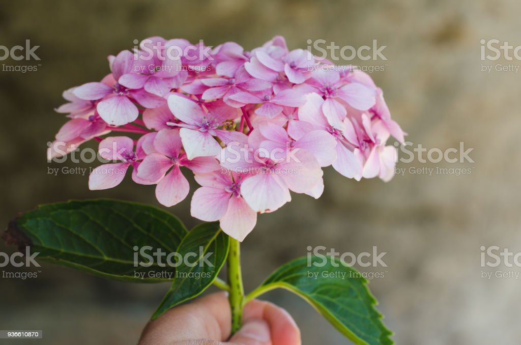 Hydrangea flower in hand with defocused natural background. stock photo